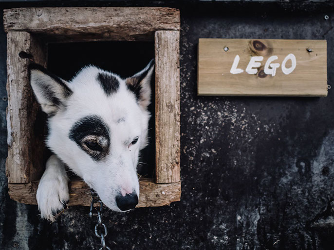 Lego Husky